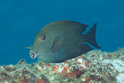 BD-141017-Komodo-5292-Ctenochaetus-striatus-(Quoy---Gaimard.-1825)-[Striated-surgeonfish].jpg